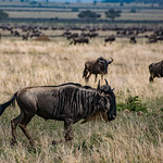 Wildebeest are also large antelope.