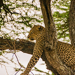 A close up of the leopard.