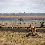 The Coke's Hartebeest is another large antelope.