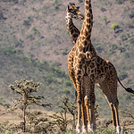 Two giraffes in the Ngorongoro highlands