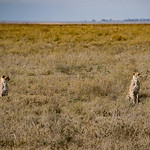 After landing, we saw a group of cheetahs nearby.