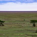 Uncountable herds of Thompson's gazelle were spread across the landscape.