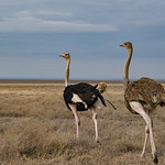 Two ostriches out for a stroll.