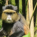 And here is a Golden Monkey.  Great little creatures.