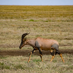 A Topi - a large member of the antelope family.