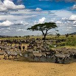 A water hole in the central Serengeti.  Lots of zebras and wildebeest.