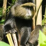 Another Golden Monkey.