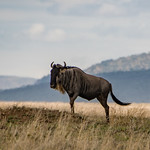 Wildebeest on the Serengeti. Standing tall and proud.