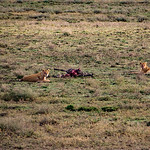 We drifted over a lion family with a fresh zebra kill.