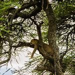 We came upon this leopard resting in a tree.  See the animal parts hanging from a branch above it.  Probably left over from the last meal.