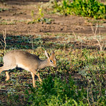 A Kirk's Dik Dik - a small, delicate antelope.