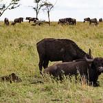 Some Cape buffalo nearby.