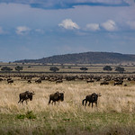 One of the goals of the safari was to see the wildebeest migration.  During February, they begin to congregate.