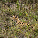 A Serval cat.  About the size of our bobcat.