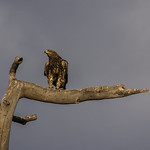 A Tawny Eagle near Lake Masek, at the end of the day.